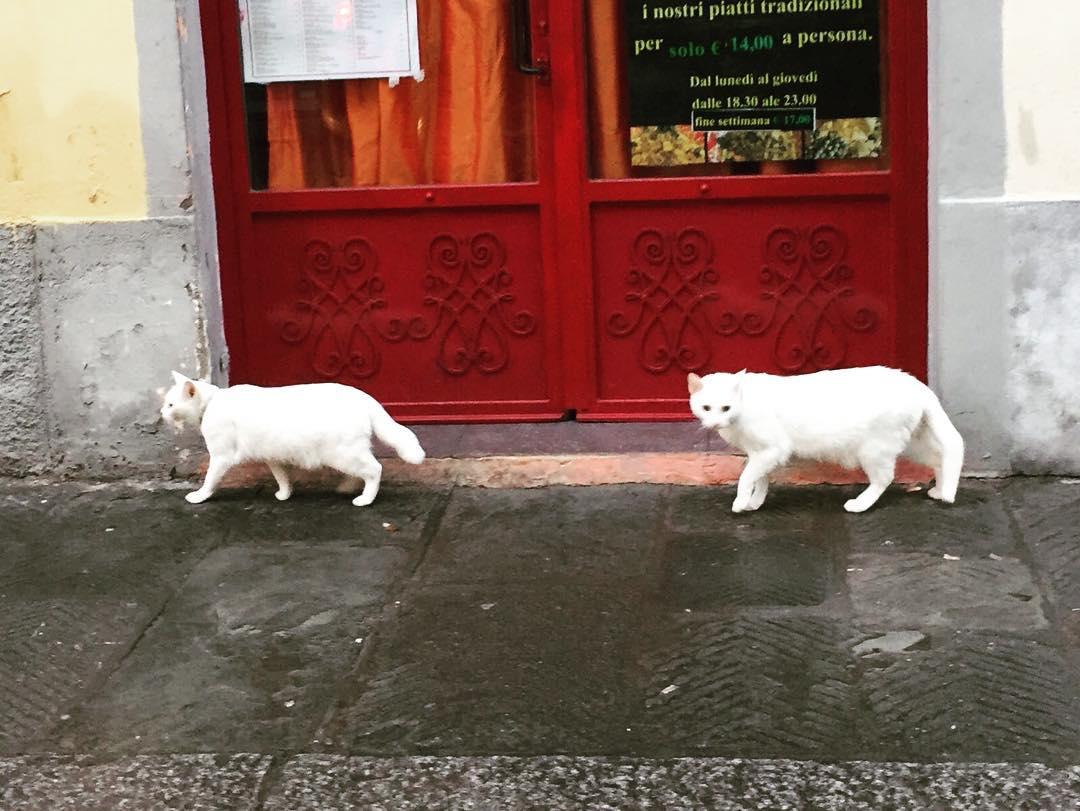 Strane simmetrie di gatti bianchi la mattina